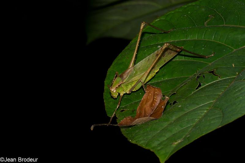 Mecopoda sp.  Long-legged Katydid, Phaneropteridae, Tettigoniidae<br /> 2236, Gunung Mulu National Park, Sarawak, East Malaysia, April 18, 2016