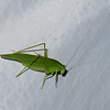 Katydid sp. Phaneropteridae, Tettigoniidae, Ensifera, Orthoptera<br /> 1184, Fraser Hill, Pahang, West Malaysia, April 9, 2016