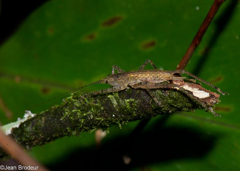 Katydid nymph  sp. Agraeciini, Conocephalinae, Tettigoniidae, Ensifera, Orthoptera<br /> 1217, Fraser Hill, Pahang, West Malaysia, April 9, 2016