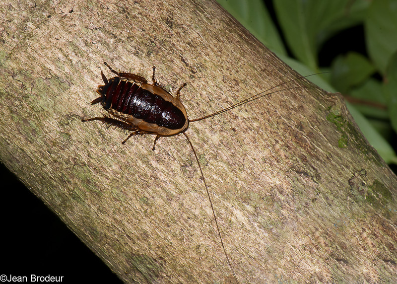 Epilamprinae sp. Blaberidae, Blattodea<br /> 1810, Bako National Park, Sarawak, East Malaysia, April 14, 2016