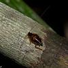 Ectobiidae sp ,Blattodea<br /> 1977, Bako National Park, Sarawak, East Malaysia, April 15, 2016