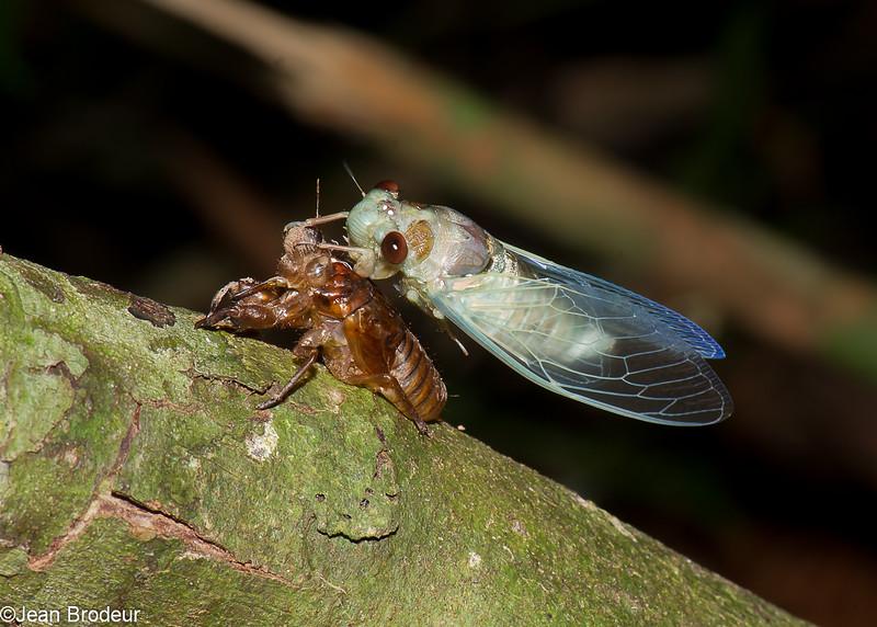 Moulting cicada, Emergence de Cigale , Cicada<br /> 2010, Bako National Park, Sarawak, East Malaysia, April 15, 2016