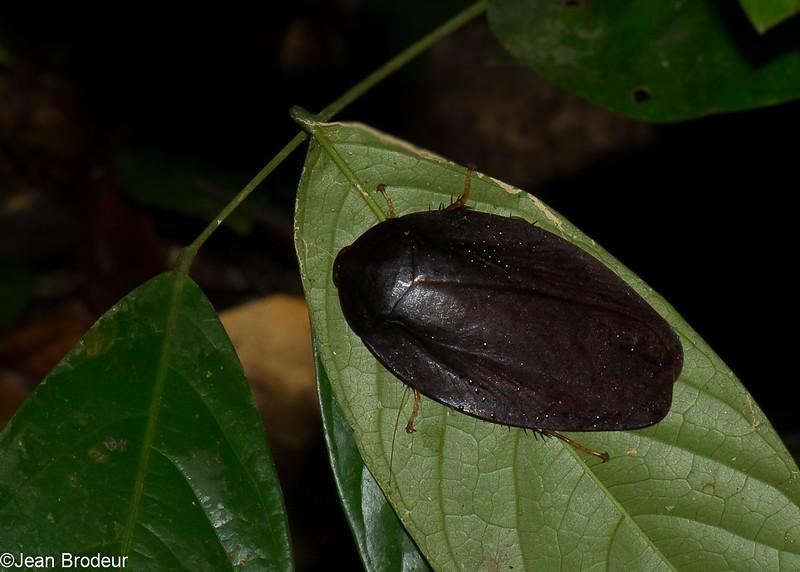Morphna dotata, Epilamprinae, Blaberidae<br /> 2750, Gunung Mulu National Park, Sarawak, East Malaysia, April 19, 2016