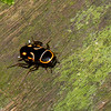 Sundablatta sexpunctata, Orange-spotted Cockroach, Pseudophyllodromiinae, Ectobiidae<br /> 3471, Niah National Park, Miri, Sarawak, East Malaysia, April 23, 2016