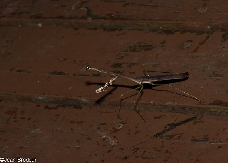 Metatoxodera subparallela , Toxoderidae, Mantodea<br /> 2130, Kubah National Park, Sarawak, East Malaysia, April 16, 2016