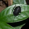 Catara rugosicollis female, Archiblattinae, Blattidae<br /> 1822, Bako National Park, Sarawak, East Malaysia, April 14, 2016