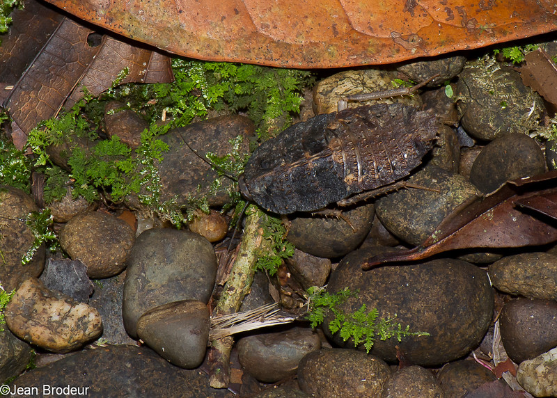 Epilamprinae sp.  Blaberidae<br /> 2911, Gunung Mulu National Park, Sarawak, East Malaysia, April 20, 2016