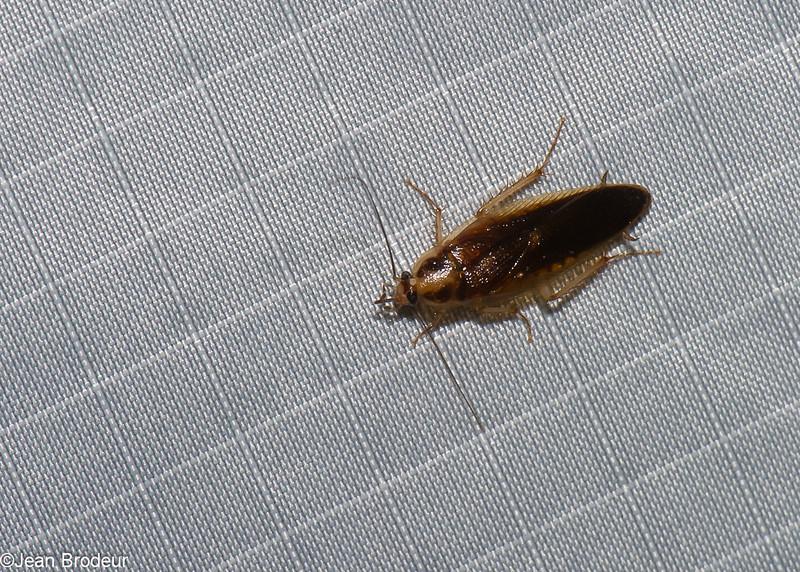 Blattella germanica, Blattellinae, Ectobiidae<br /> 1170, Fraser Hill, Pahang, West Malaysia, April 9, 2016
