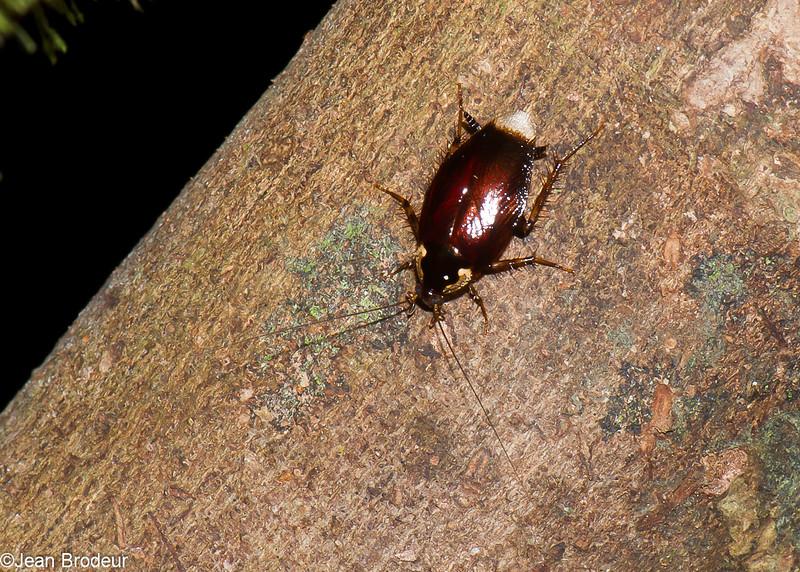 Blattodea nymph sp.<br /> 2954, Gunung Mulu National Park, Sarawak, East Malaysia, April 20, 2016