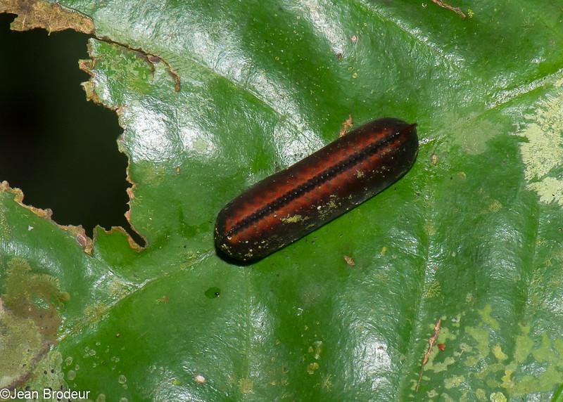 Cockroach Ootheca , Blattodea , Ootheques(oeufs) de coquerelle<br /> 2554, Gunung Mulu National Park, Sarawak, East Malaysia, April 19, 2016