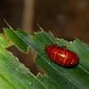 Perisphaerus sp. Pill cockroach, Blaberidae, Blattodea<br /> 2844, Gunung Mulu National Park, Sarawak, East Malaysia, April 20, 2016