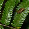 Cariblatta sp. Pseudophyllodromiinae,  Ectobiidae, Blattodea<br /> 1216, Fraser Hill, Pahang, West Malaysia, April 9, 2016