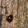 Sundablatta sexpunctata, Orange-spotted Cockroach, Pseudophyllodromiinae, Ectobiidae<br /> 3442, Niah National Park, Miri, Sarawak, East Malaysia, April 23, 2016
