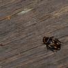 Sundablatta sexpunctata, Orange-spotted Cockroach, Pseudophyllodromiinae, Ectobiidae, Blattodea<br /> 2066, Kubah National Park, Sarawak, East Malaysia, April 16, 2016