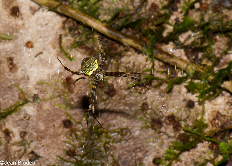 Argiope sp. female , Orb Weavers<br /> 3156, Gunung Mulu National Park, Sarawak, East Malaysia, April 21, 2016