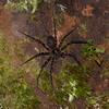 Huntsman Spider sp. Sparassidae<br /> 1671, Bako National Park, Sarawak, East Malaysia, April 13, 2016