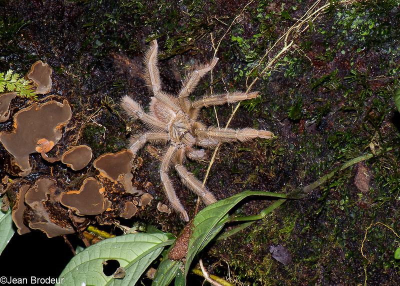 Thelcticopis sp. Sparassidae<br /> 3186, Gunung Mulu National Park, Sarawak, East Malaysia, April 21, 2016
