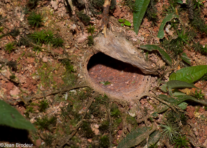 Nest of Coremiocnemis sp. Tarentula spider,  Mygalomorphae<br /> 1162, Fraser Hill, Pahang, West Malaysia, April 9, 2016
