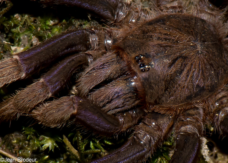 Coremiocnemis sp. Tarentula spider,  Mygalomorphae<br /> 1199, Fraser Hill, Pahang, West Malaysia, April 9, 2016