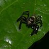 Myrmarachne sp. Salticidae, Jumping spiders<br /> 0469, Cameron Highlands, Pahang, West Malaysia, April 6, 2016