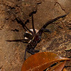 Sparassidae sp. Giant Crab Spider<br /> 1678, Bako National Park, Sarawak, East Malaysia, April 13, 2016