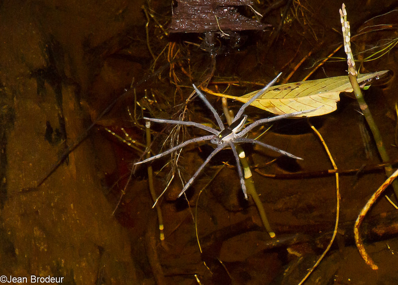 Dolomedes sp. Pisauridae, Fishing Spiders<br /> 1689, Bako National Park, Sarawak, East Malaysia, April 13, 2016