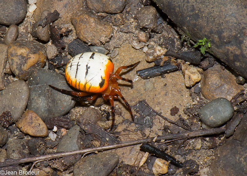 Araneidae sp. Orb Weavers spider<br /> 2927, Gunung Mulu National Park, Sarawak, East Malaysia, April 20, 2016