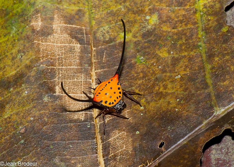 Macracantha arcuata , Gasteracanthinae, Araneidae, Long Horned Orb Weaver <br /> 2586, Gunung Mulu National Park, Sarawak, East Malaysia, April 19, 2016
