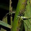 Salticidae sp. Jumping spiders <br /> 2253, Gunung Mulu National Park, Sarawak, East Malaysia, April 18, 2016