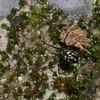 Leucauge sp. Tetragnathidae, Araneae<br /> 2039, Kubah National Park, Sarawak, East Malaysia, April 16, 2016