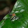 Hamadruas sp. Malaysian Lynx Spider , Oxyopidae<br /> 2531, Gunung Mulu National Park, Sarawak, East Malaysia, April 18, 2016