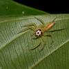 Telamonia sp. Plexippinae, Salticidae<br /> 1767, Bako National Park, Sarawak, East Malaysia, April 13, 2016