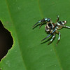 Thiania sp. Euophryinae, Salticidae<br /> 2880, Gunung Mulu National Park, Sarawak, East Malaysia, April 20, 2016