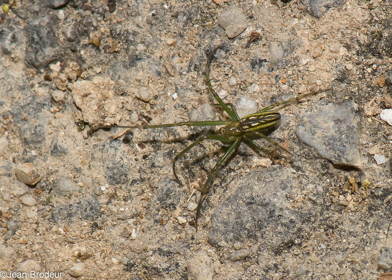 Tetragnathidae sp.  Araneae<br /> 0900, Cameron Highlands, Pahang, West Malaysia, April 8, 2016