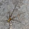 Tetragnathidae sp.  Araneae<br /> 0461, Cameron Highlands, Pahang, West Malaysia, April 6, 2016