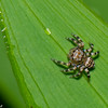 Thorelliola ensifera female, Euophryninae, Salticidae<br /> 3536, Singapore Botanic Gardens, Singapore, April 25, 2016