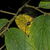 Opiliones sp.  Harvestman<br /> 1523, Fraser Hill, Pahang, West Malaysia, April 11, 2016