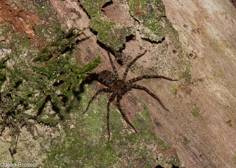 Huntsman Spider sp. Sparassidae<br /> 1375, Fraser Hill, Pahang, West Malaysia, April 10, 2016