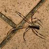 Nephila pilipes, Golden Web Spider, Nephilidae<br /> 2104, Kubah National Park, Sarawak, East Malaysia, April 16, 2016
