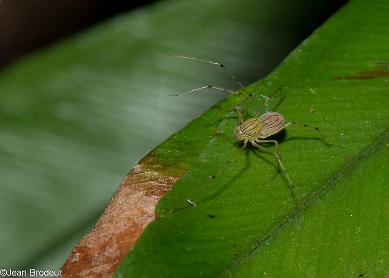 Scytodidae sp. Spitting Spiders<br /> 2100, Kubah National Park, Sarawak, East Malaysia, April 16, 2016