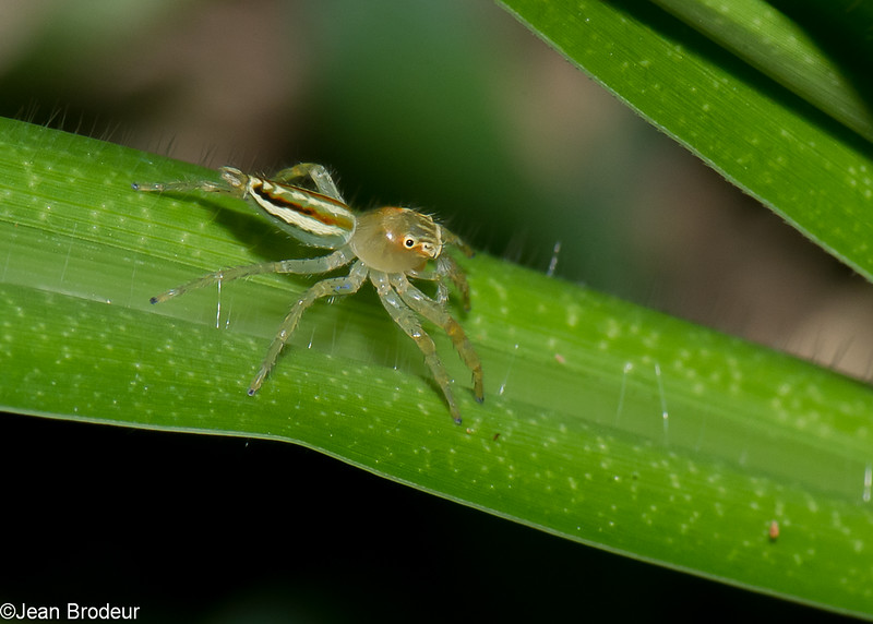 Telamonia sp. Plexippinae, Salticidae<br /> 1155, Fraser Hill, Pahang, West Malaysia, April 9, 2016