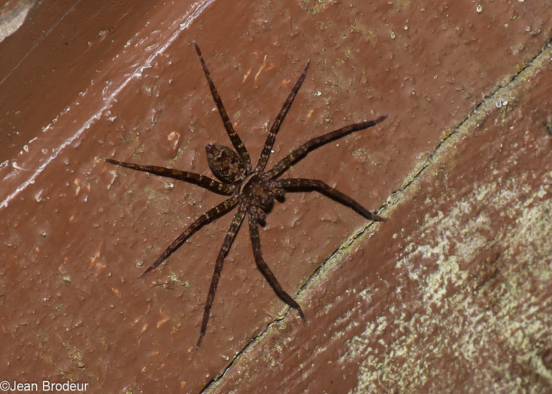 Huntsman Spider sp. Sparassidae<br /> 1213, Fraser Hill, Pahang, West Malaysia, April 9, 2016