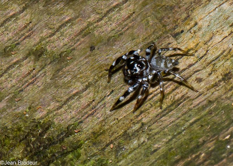 Thiania sp. Euophryinae, Salticidae<br /> 3455, Niah National Park, Miri, Sarawak, East Malaysia, April 23, 2016