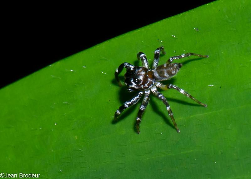 Thiania sp. Euophryinae, Salticida<br /> 2764, Gunung Mulu National Park, Sarawak, East Malaysia, April 19, 2016