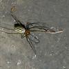 Leucauge sp. Tetragnathidae, Araneae<br /> 0808, Cameron Highlands, Pahang, West Malaysia, April 7, 2016
