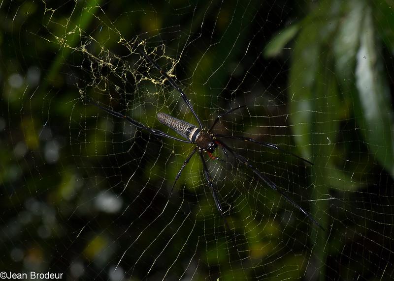 Nephila pilipes, Golden Web Spider, Nephilidae<br /> 2578, Gunung Mulu National Park, Sarawak, East Malaysia, April 19, 2016