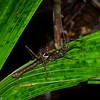 Haaniella  male , Heteropterygidae, Spiny stickinsect<br /> 2629, Gunung Mulu National Park, Sarawak, East Malaysia, April 19, 2016