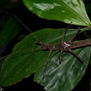 Haaniella  male , Heteropterygidae, Spiny stickinsect<br /> 2944, Gunung Mulu National Park, Sarawak, East Malaysia, April 20, 2016