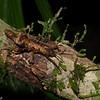 Dares ulula, Datamini, Heteropterygidae<br /> 2643, Gunung Mulu National Park, Sarawak, East Malaysia, April 19, 2016