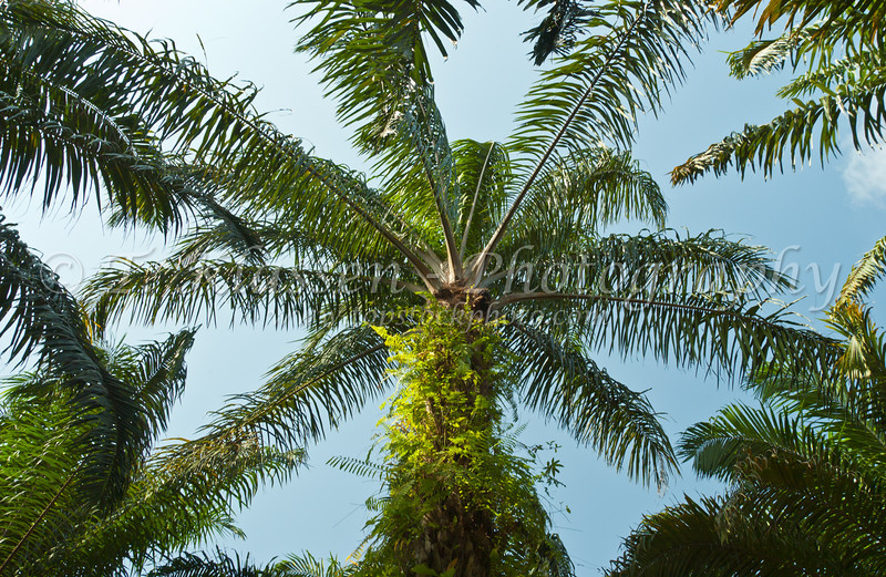 Oil palms orchard in southern Malaysia.